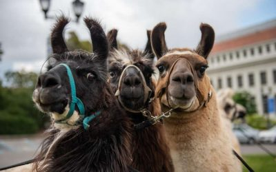 UC Berkeley Students Treated to Llama Therapy before Finals